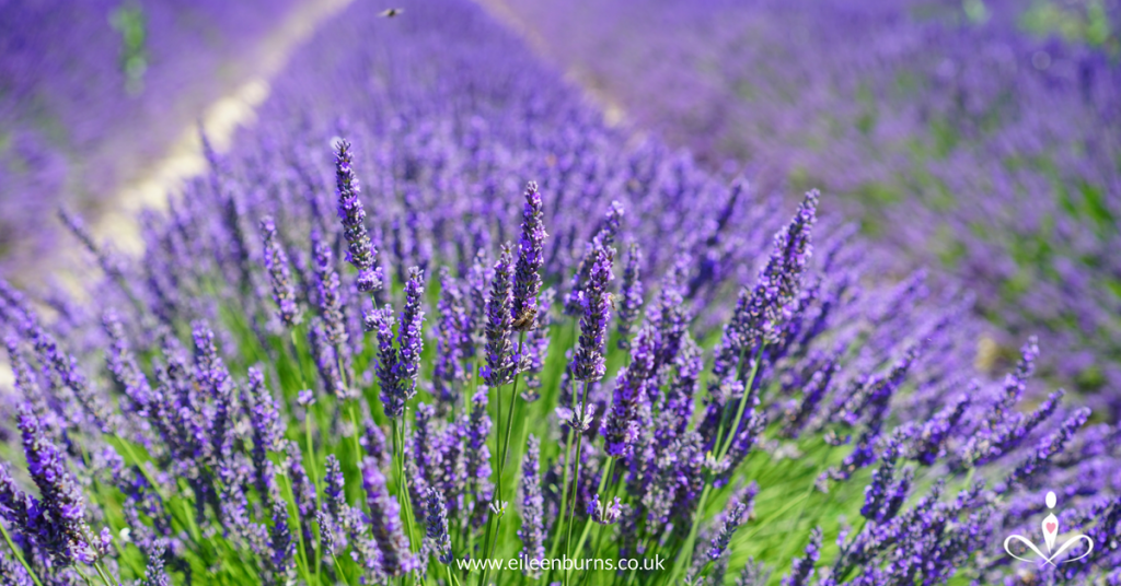 lavender pure essential for family